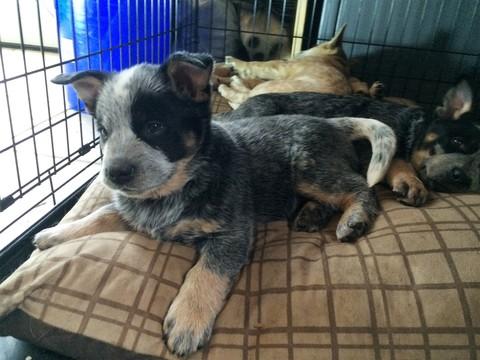 Glen Iris Dog Rescue
