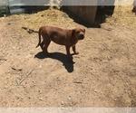 Small Photo #9 America Bandogge Mastiff-Mastiff Mix Puppy For Sale in FORT GARLAND, CO, USA
