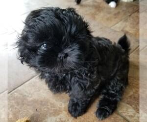 Shih Tzu Dog for Adoption in SAVANNAH, Tennessee USA