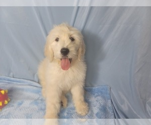 Goldendoodle Puppy for Sale in BLACK FOREST, Colorado USA