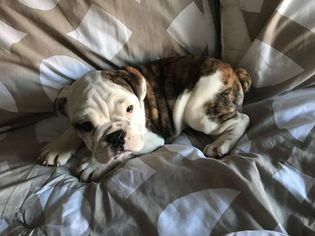 Bulldog Puppy For Sale in SUMMERVILLE, SC