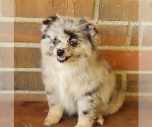 Pomeranian Puppy for Sale in LOUISVILLE, Kentucky USA