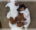 Small #9 Jack Russell Terrier