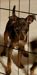 Harlequin Pinscher Puppy For Sale in LINCOLN, KS