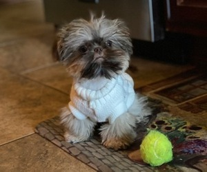 Shih Tzu Puppy for Sale in GOODYEAR, Arizona USA