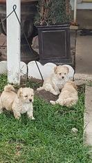 Morkie Puppy For Sale in SAN ANTONIO, TX