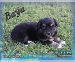Bayu Mini Black Tri Male Aussie