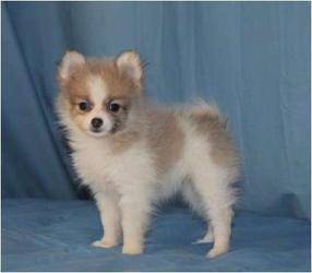 View Ad Pomeranian Puppy For Sale Near Arizona Tucson Usa Adn 89