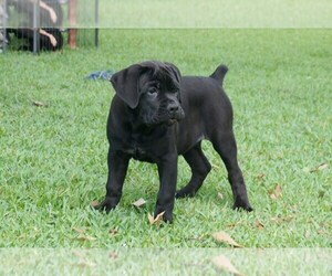 Cane Corso Puppy for sale in ROYAL PALM BEACH, FL, USA