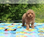 Small #10 Goldendoodle