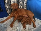 Dogue de Bordeaux Puppy For Sale in SAINT ROBERT, MO, USA