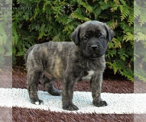 Mastiff Puppy for sale in MORGANTOWN, PA, USA