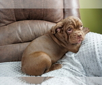 Small #3 Olde English Bulldogge