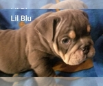 Small #23 English Bulldog