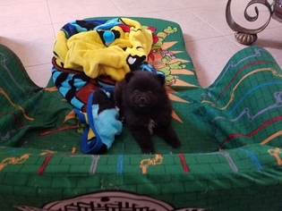 Pomeranian Puppy For Sale in VALRICO, FL