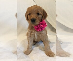 Goldendoodle Puppy for Sale in MIDLOTHIAN, Virginia USA