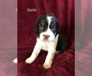 Medium English Springer Spaniel