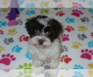 Havanese Puppy for Sale in ORO VALLEY, Arizona USA