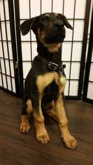 View Ad Doberman Pinscher German Shepherd Dog Mix Puppy For Sale