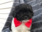 Peke-A-Poo Puppy For Sale in QUARRYVILLE, PA, USA