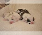 Small #26 English Bulldog