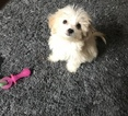 Havanese Puppy For Sale in NEW YORK, NY, USA
