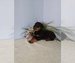Puppy 7 Rottweiler