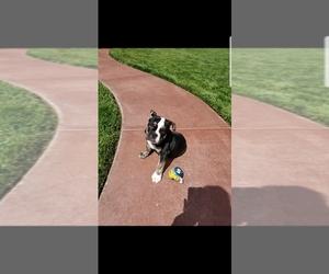 Victorian Bulldog Dog for Adoption in MURRIETA, California USA
