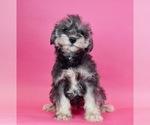 Puppy 8 Schnauzer (Miniature)