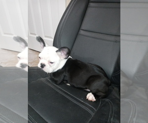 French Bulldog Puppy for sale in ADAMS CITY, CO, USA