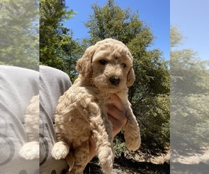 Goldendoodle-Poodle (Miniature) Mix Puppy for sale in SAN JOSE, CA, USA