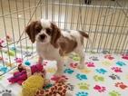 Cavalier King Charles Spaniel Puppy For Sale in ORO VALLEY, AZ, USA