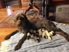 German Wirehaired Pointer Puppy For Sale in HILLSBORO, NC, USA