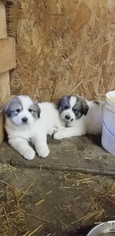 Great Pyrenees Puppy For Sale in COLUMBUS JUNCTION, IA, USA