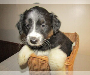 Collie-Rat Terrier Mix Puppy for sale in HUDSON, MI, USA