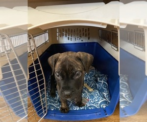 Bullmastiff Puppy for sale in BRUNSWICK, GA, USA