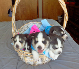 View Ad Siberian Husky Litter Of Puppies For Sale Near Illinois