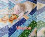 Puppy 4 Labradoodle-Poodle (Standard) Mix