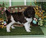 Puppy 1 Poodle (Standard)