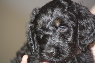 Goldendoodle Puppy For Sale in CUMMINGS, KS, USA