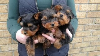 Yorkshire Terrier Puppy For Sale in JACKSONVILLE, FL