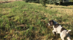 German Wirehaired Pointer Puppy For Sale in TROY, ID, USA