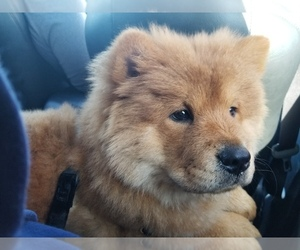 Chow Chow Puppy for sale in GREENACRES, WA, USA
