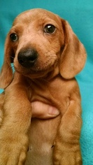 Dachshund Puppy For Sale in CAMPO, CA, USA