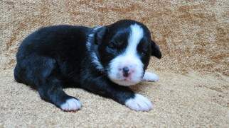 Australian Shepherd Puppy For Sale in JEFFERSON, SC, USA