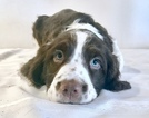 Small #3 English Springer Spaniel