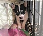Small Chihuahua