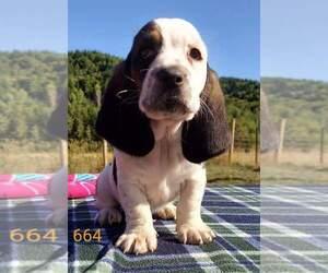 Basset Hound Puppy for Sale in CENTRALIA, Washington USA
