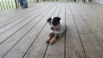 Australian Cattle Dog Puppy For Sale in BARNETT, MO