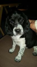 Beagle-English Springer Spaniel Mix Puppy For Sale in MARICOPA, AZ, USA
